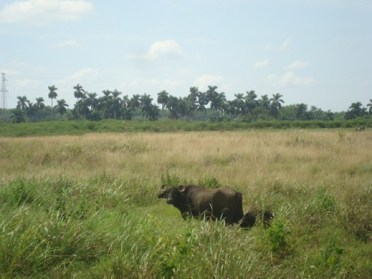 Cuban Buffaloes in the typical tropical landscape - Cuba