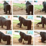A huge female gorilla has a rabbit as her best friend at the Al Ain Zoo
