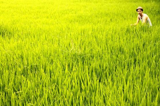Rice field of Ubud, Bali