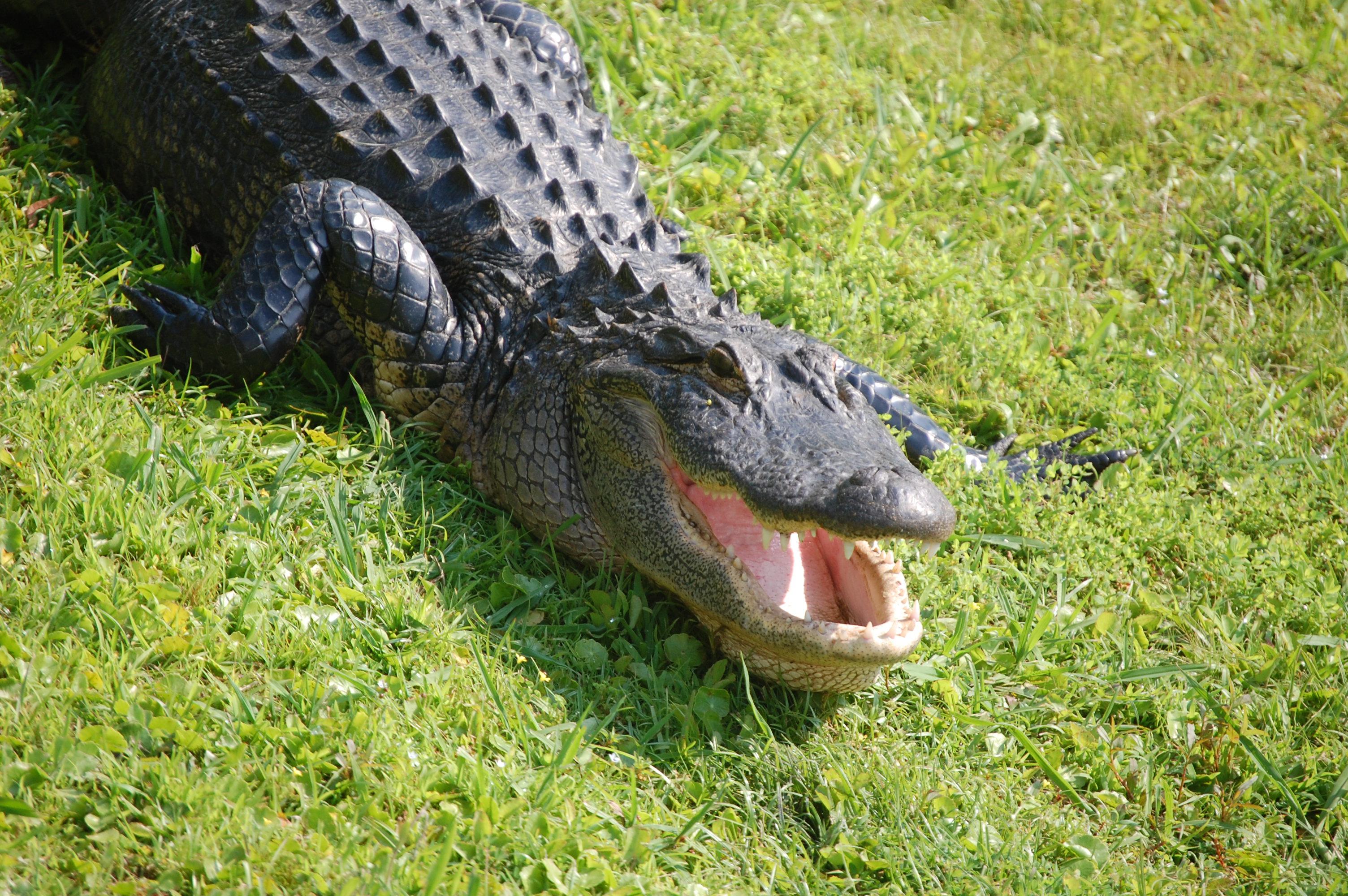 Worksheet Alligator Teeth