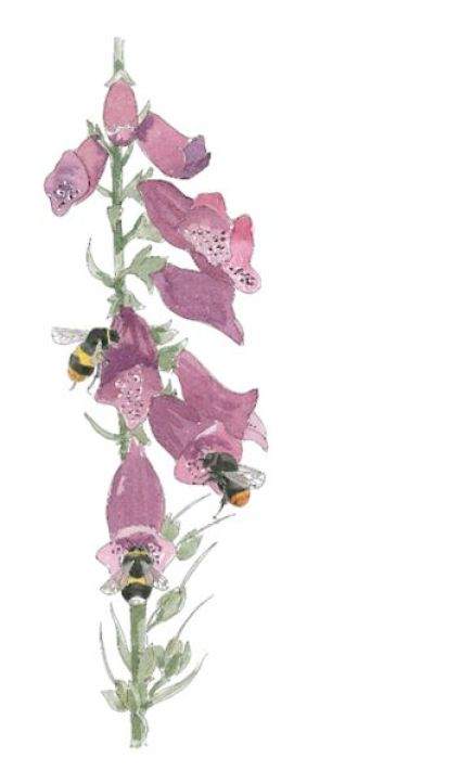 bumblebees-on-foxglove
