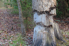 Tree Survives Beaver Attack