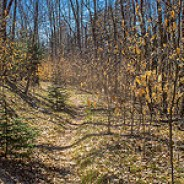 Beech Saplings Line the Trail