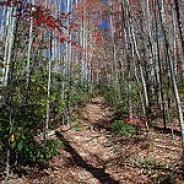 Birch Saplings Line Pilot Rock Trail