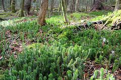 Ground Cedar Along the MTS Trail