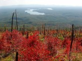 Sumac recovering from fire