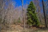 Lone spruce has grown