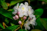 Rosebay half bloom