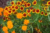 Cosmos & Dyers Coreopsis