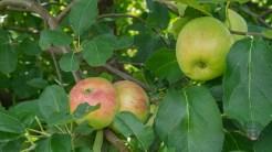 Honeycrisp apples