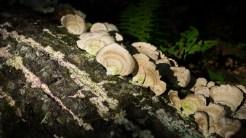 Turkey trail fungus