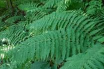 Large trailside ferns
