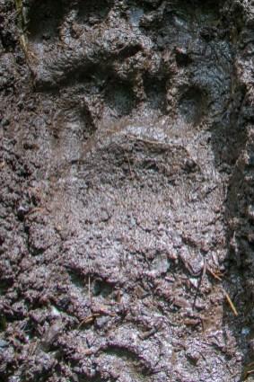 Juvenile bear track