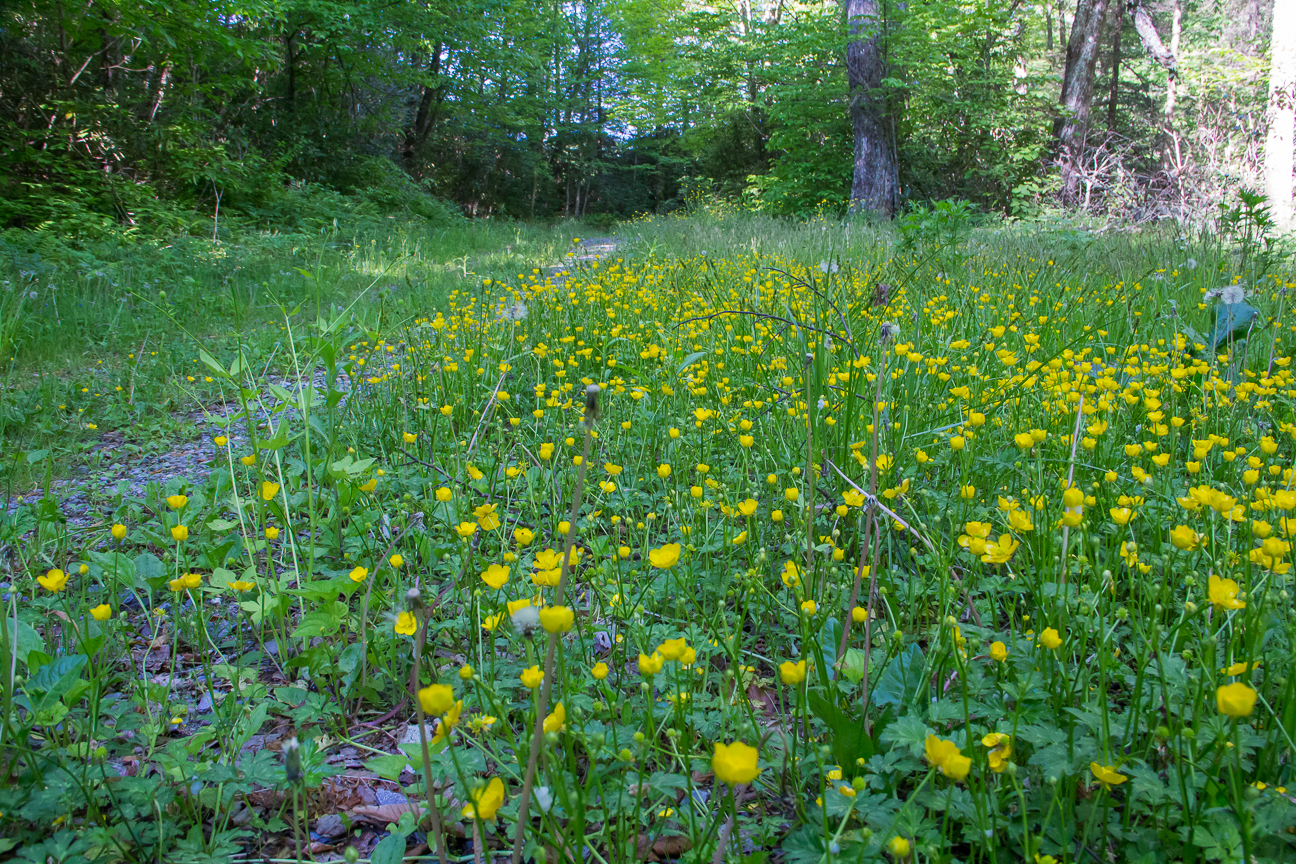 Buttercup Lined Trail Near Max Patch - Photo by Jeff Clark