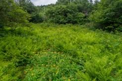 Ferns and St. John's Wort