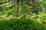 Pine growing in moss