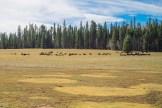Bison herd on Kaibab Plateau