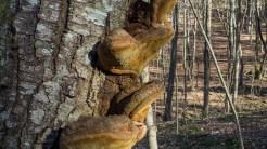 Conk fungus