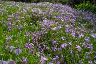 Phlox garden