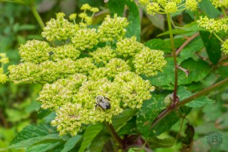 Bees love the angelica