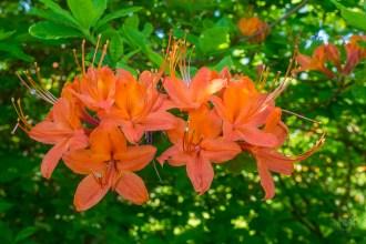 Azalea blossom cluster