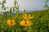 Turks cap lilies