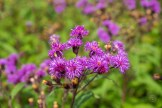 Ironweed in a field