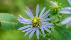 Lowry blue aster