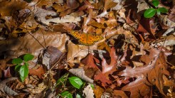 Gulf fritillary among the leaves