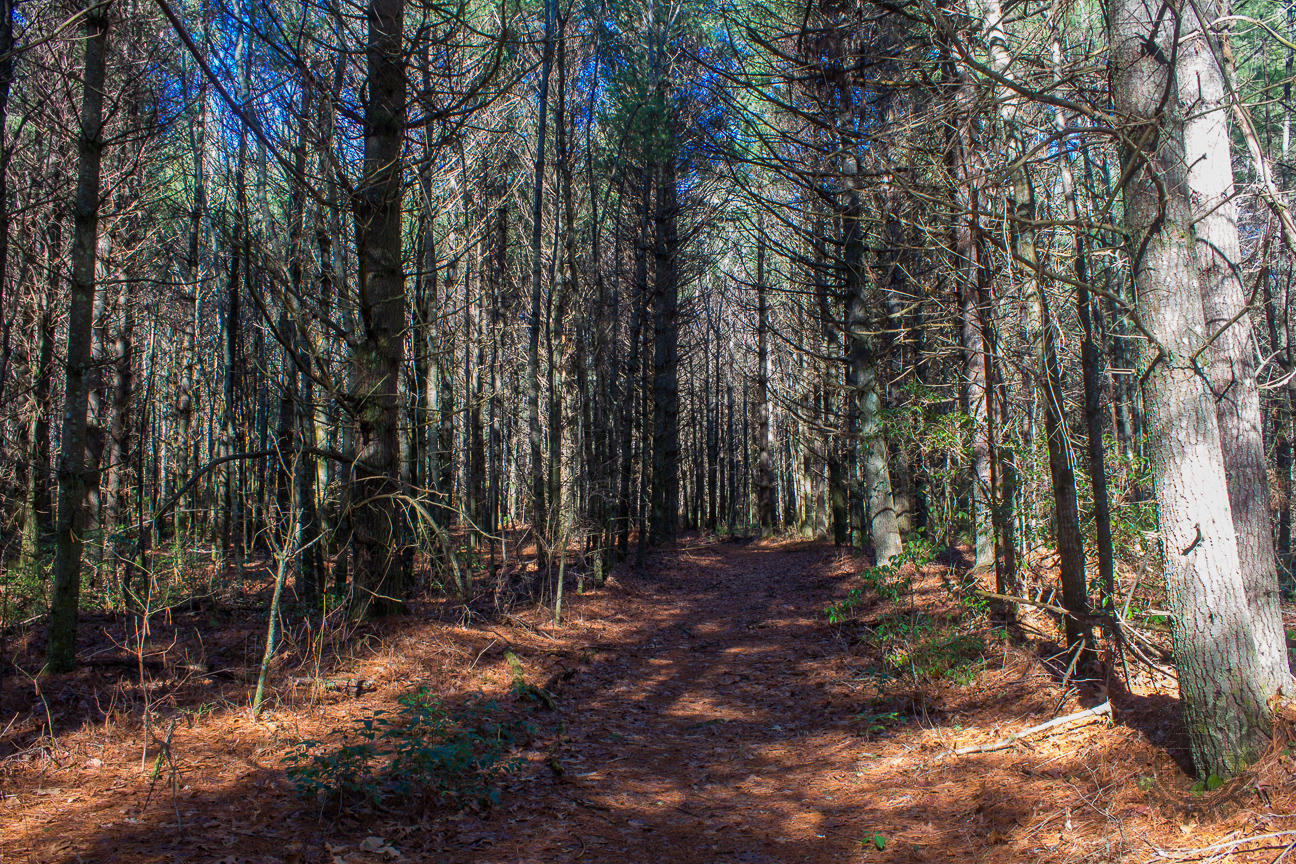 Like many areas of Georgia and South Carolina, you can find a number of these large pine plantations in DuPont State Forest.