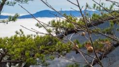 Oak gall pods