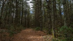 Dense pine grove on Plantation Trail