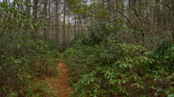 Laurel thicket on Plantation Trail