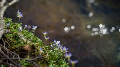 Creekside bluets