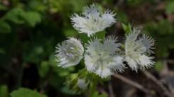 Phacelia cluster