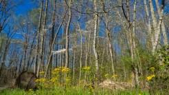Golden ragwort and dogwood