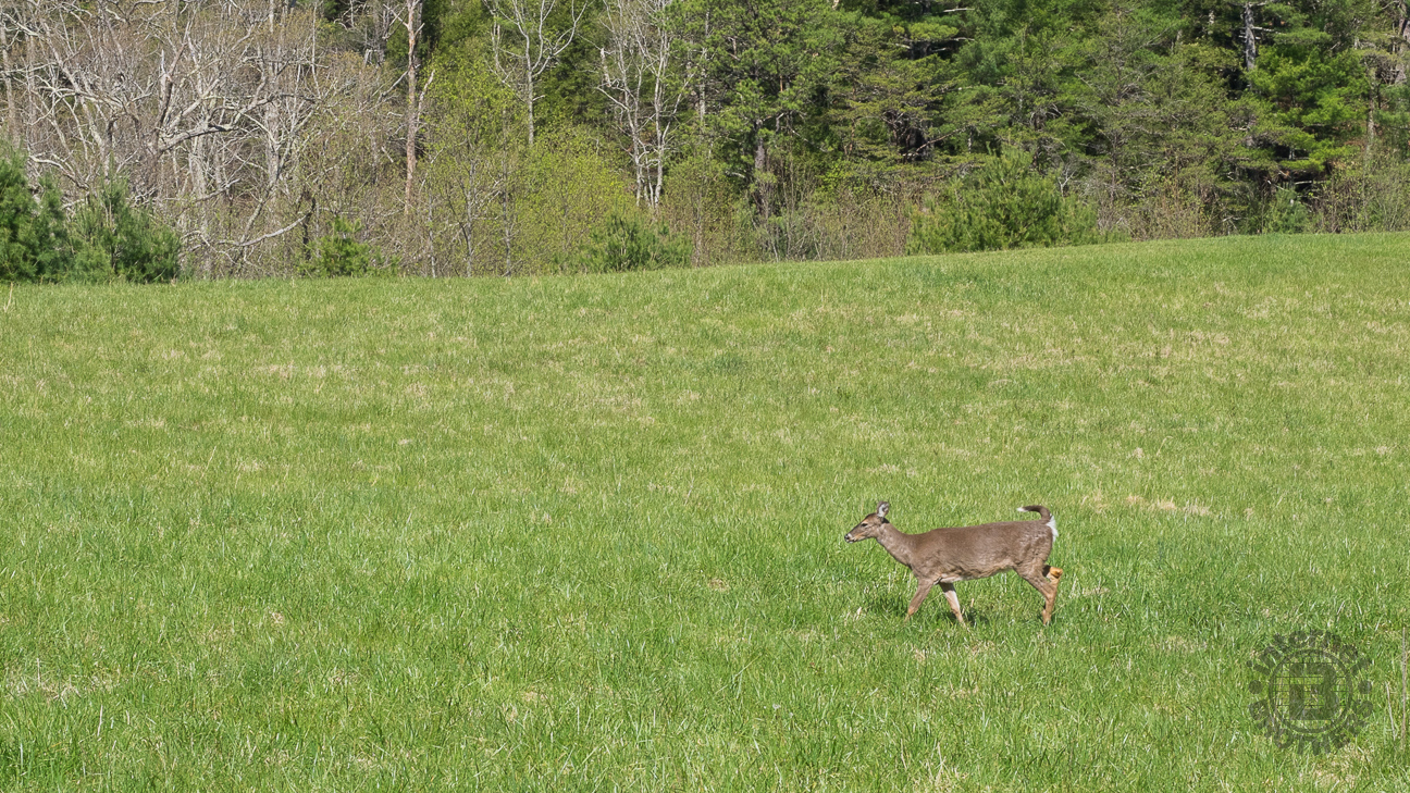 Turkeys and white-tail deer are the most common of the wildlife in Cades Cove. It is almost guaranteed you will see some of each, no matter the season.