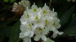 Rosebay rhododendron blossom