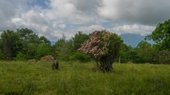 Mountain laurel bush