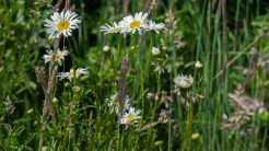 Daisies and meadow grass