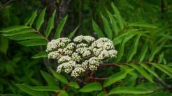 Mountain ash buds