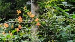 Carolina lilies