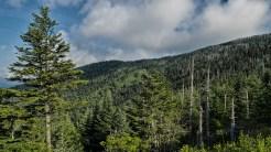 Lots of dead fir trees