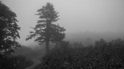 Lone black balsam spruce