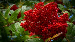 Mountain ash berries