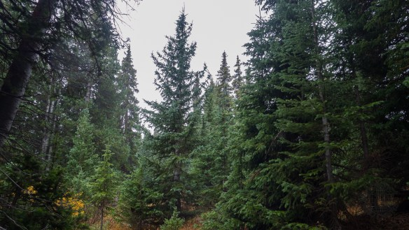 Here we are, comfortable and dry beneath a giant spruce grove protected from the elements.