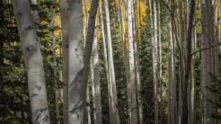 Young aspen trunks