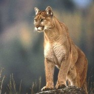 Cougars confirmed in Tennessee