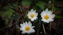 Bloodroot family