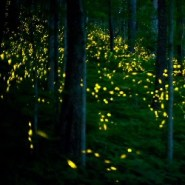 Great Smoky Mountains National Park Announces Synchronous Firefly Viewing Dates